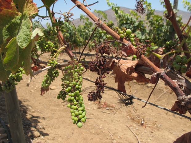 Syrah grapes that have suffered through lack of water